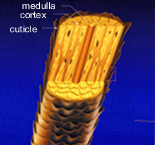 Hair FollicleStructure of the Hair Follicle